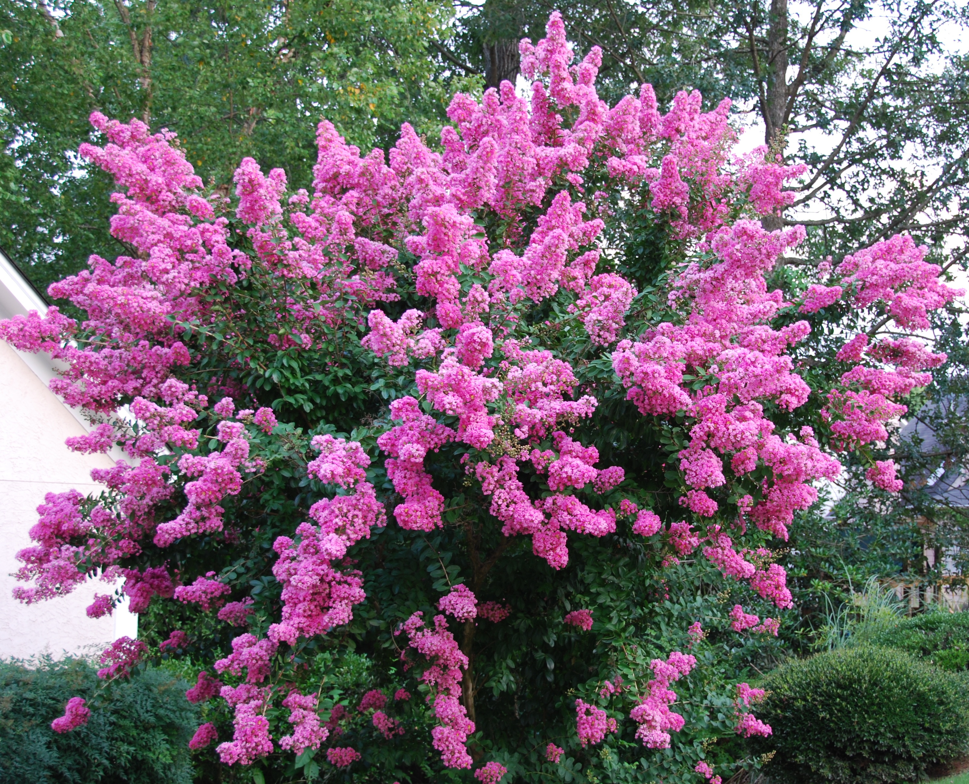 Lagerstroemia crepe myrtle