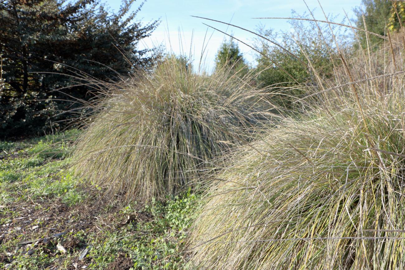 muhlenbergia rigens  u2013 plantright