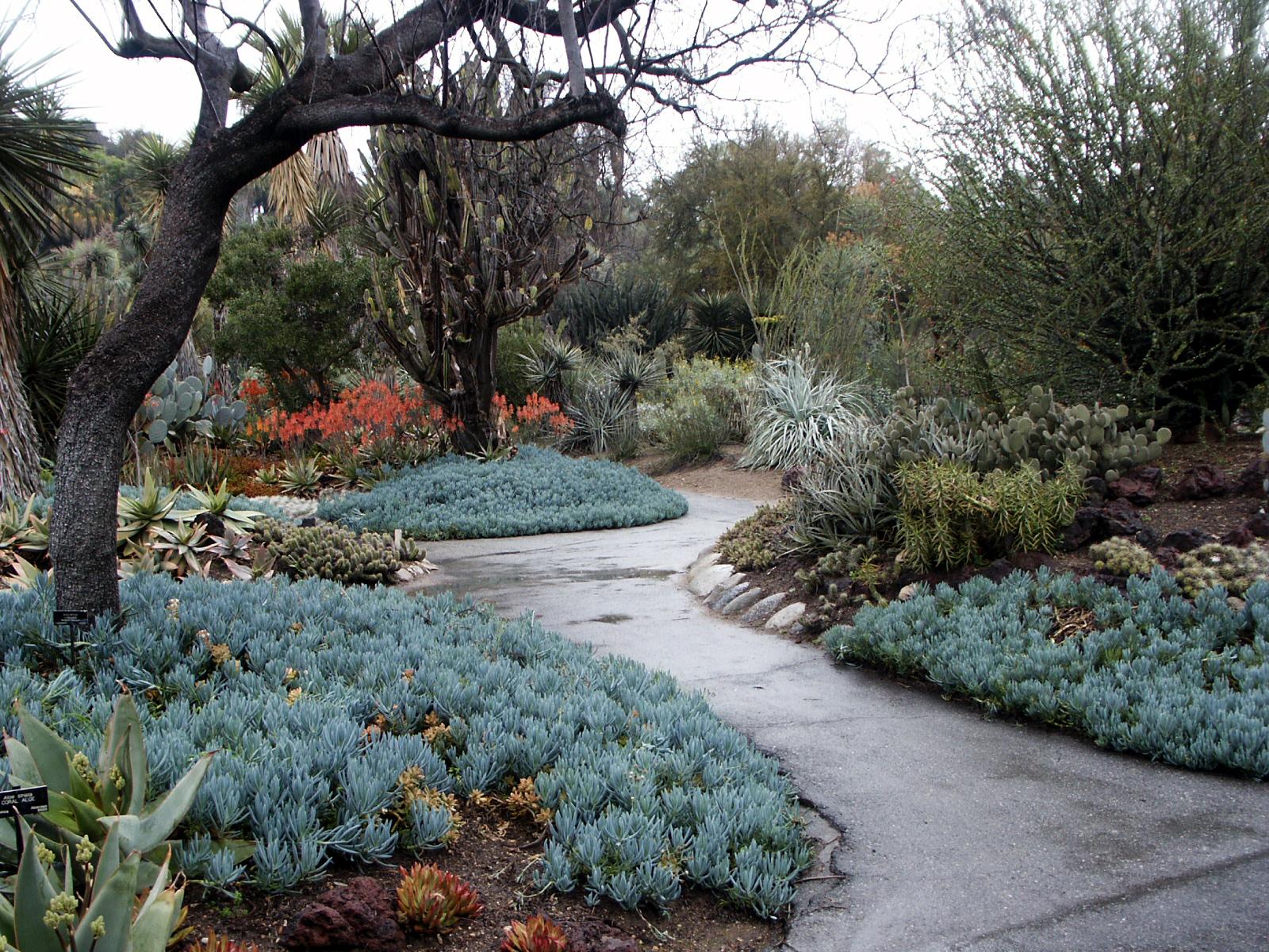 Senecio mandraliscae at Huntington Gardens