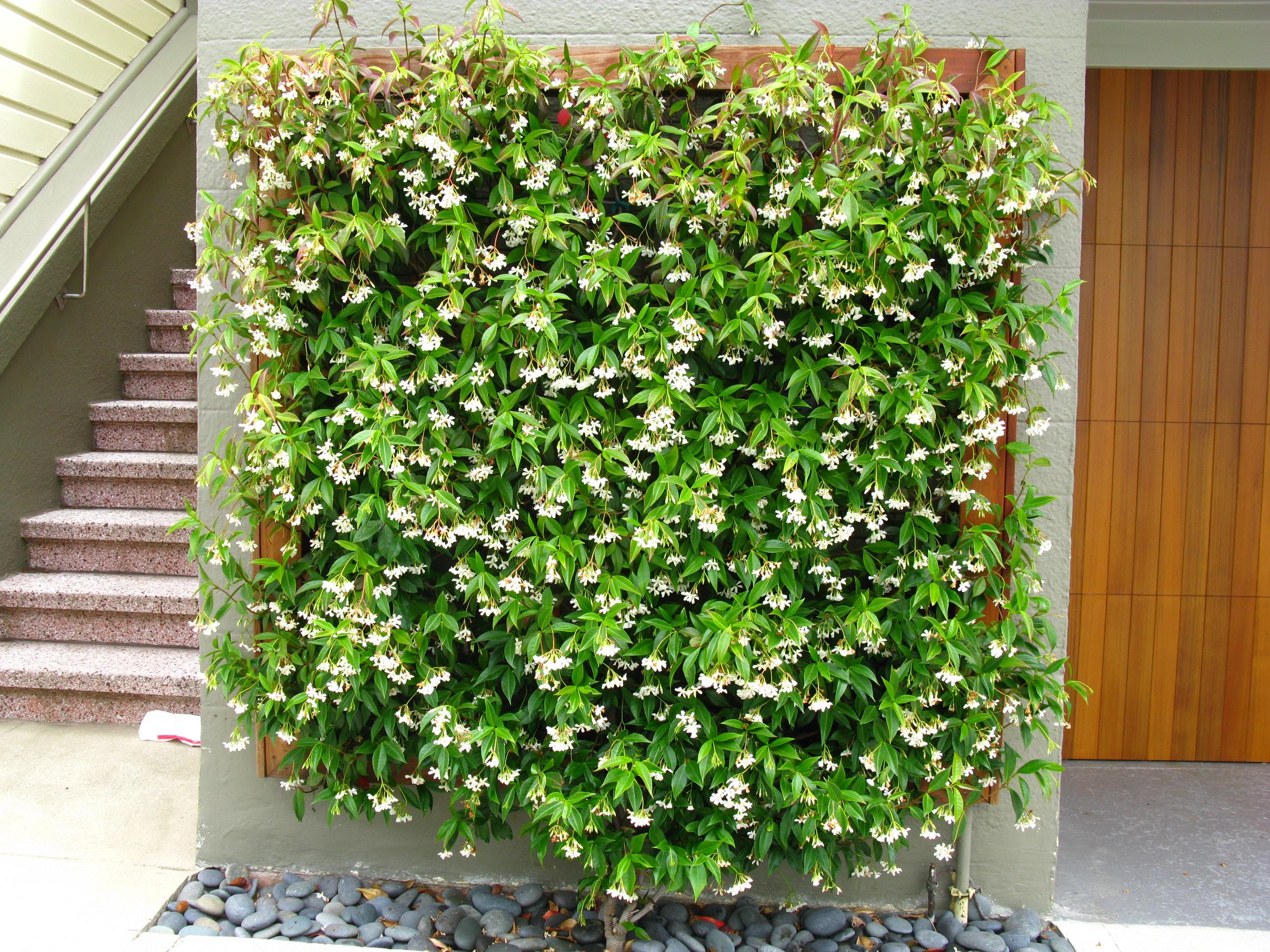 trachelospermum jasminoides plantright. Black Bedroom Furniture Sets. Home Design Ideas