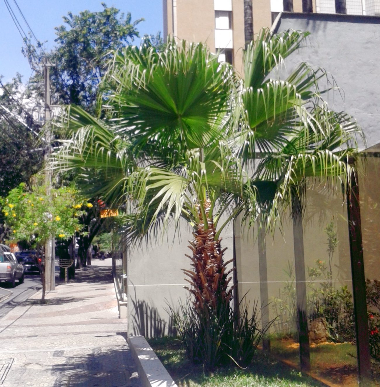 Washingtonia Robusta Plantright