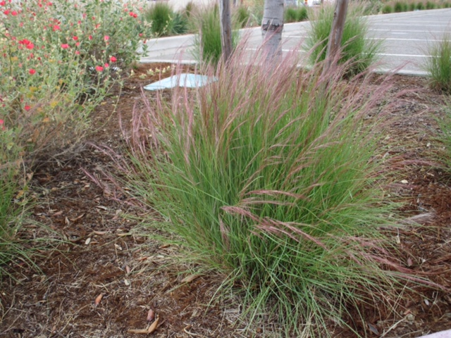Purple three-awn (Aristida purpurea)
