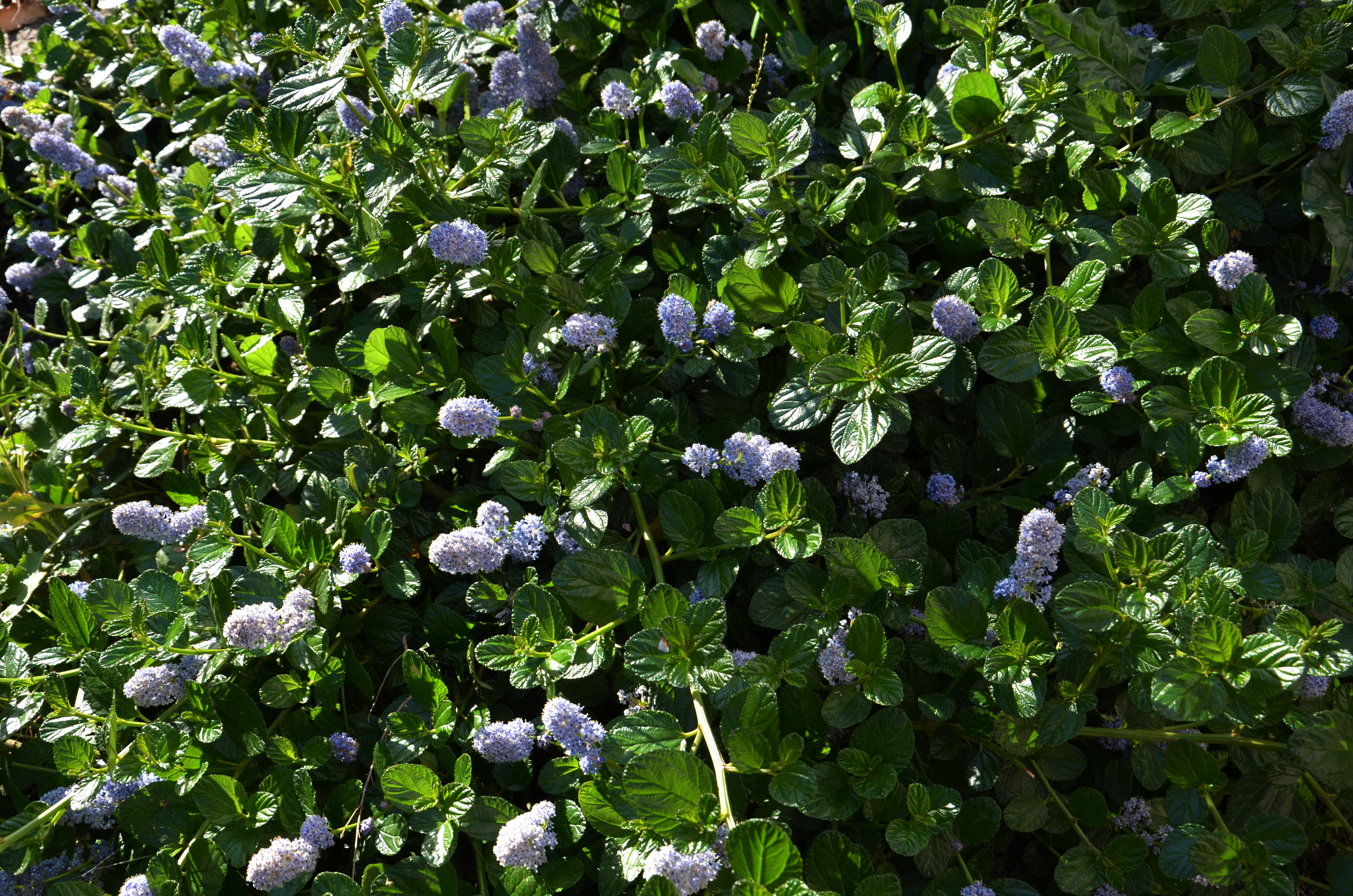 ceanothus groundcovers plantright. Black Bedroom Furniture Sets. Home Design Ideas