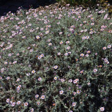 Corethrogyne filaginifolia 'Silver Carpet'