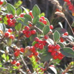 Silverleaf cotoneaster (Cotoneaster pannosus) fruits