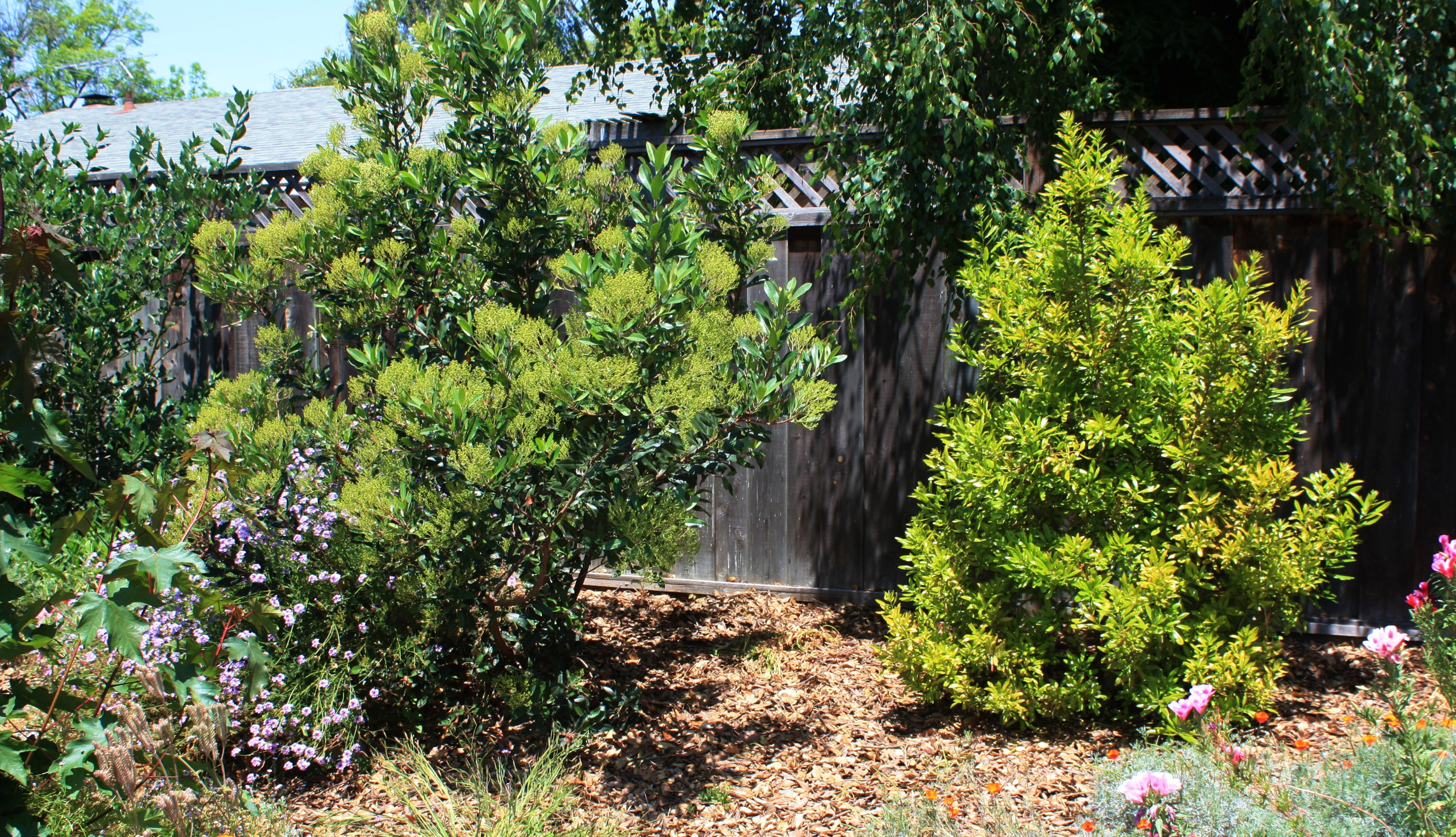 Heteromeles arbutifolia and Morella californica