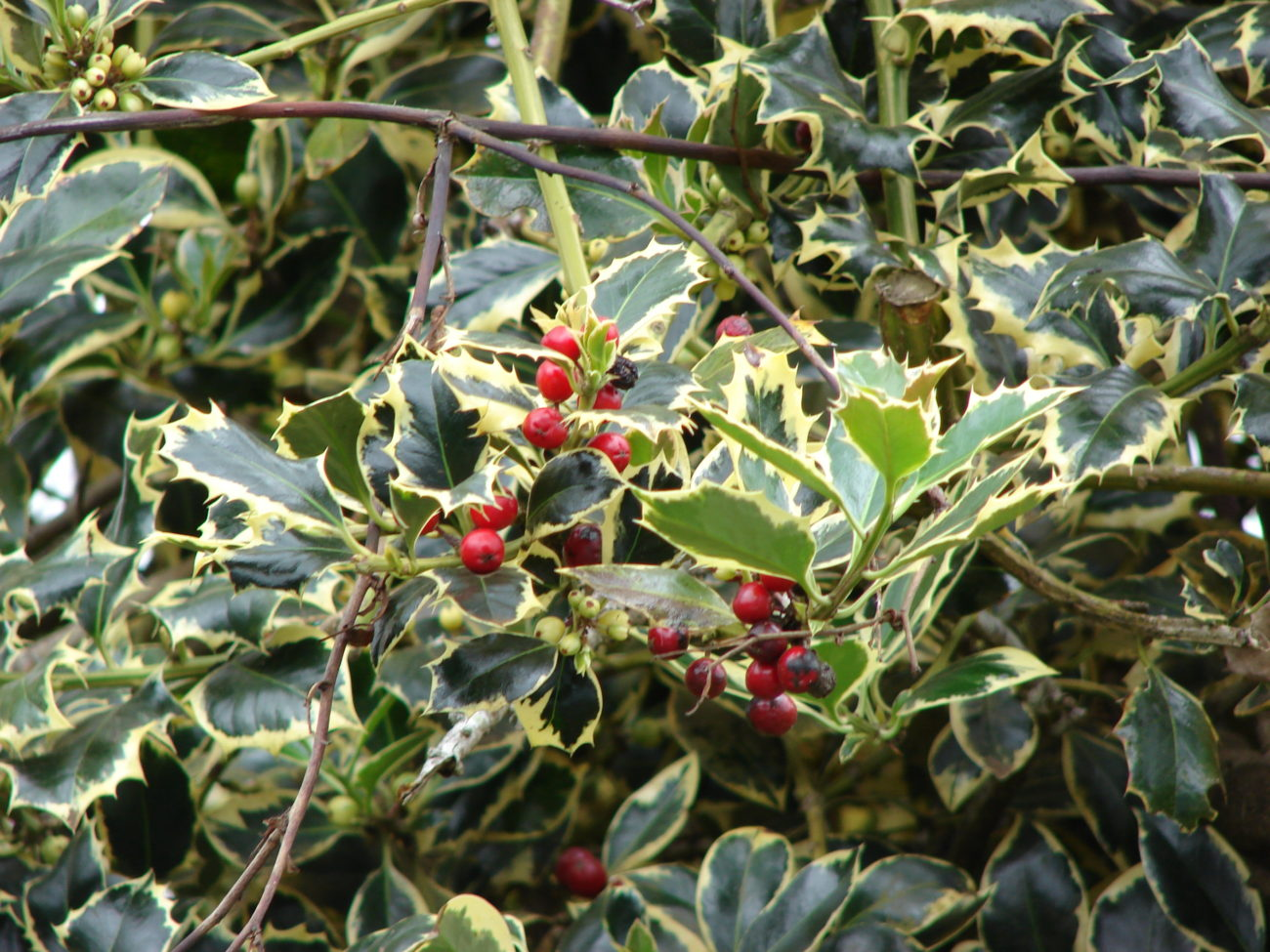 ilex aquifolium  u2013 plantright