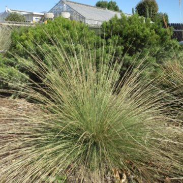 Pine muhly (Muhlenbergia dubia)
