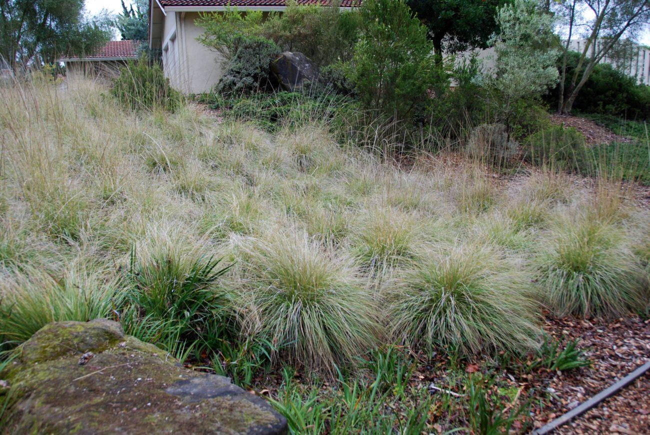 Muhlenbergia Rigens Plantright