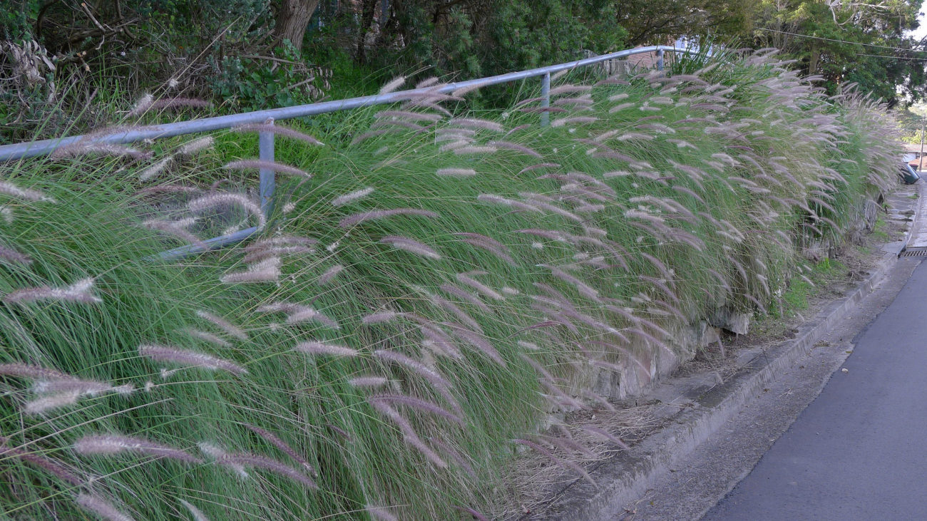 Pennisetum setaceum plantright for Fountain grass