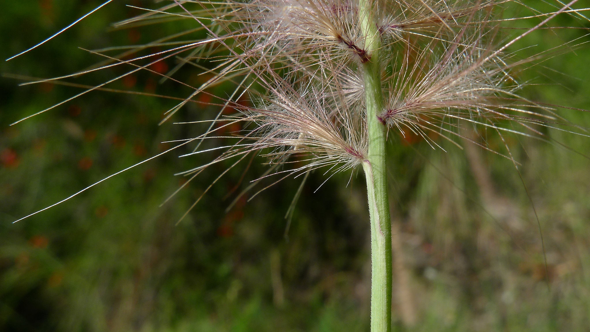 Green fountain grass (Pennisetum setaceum)