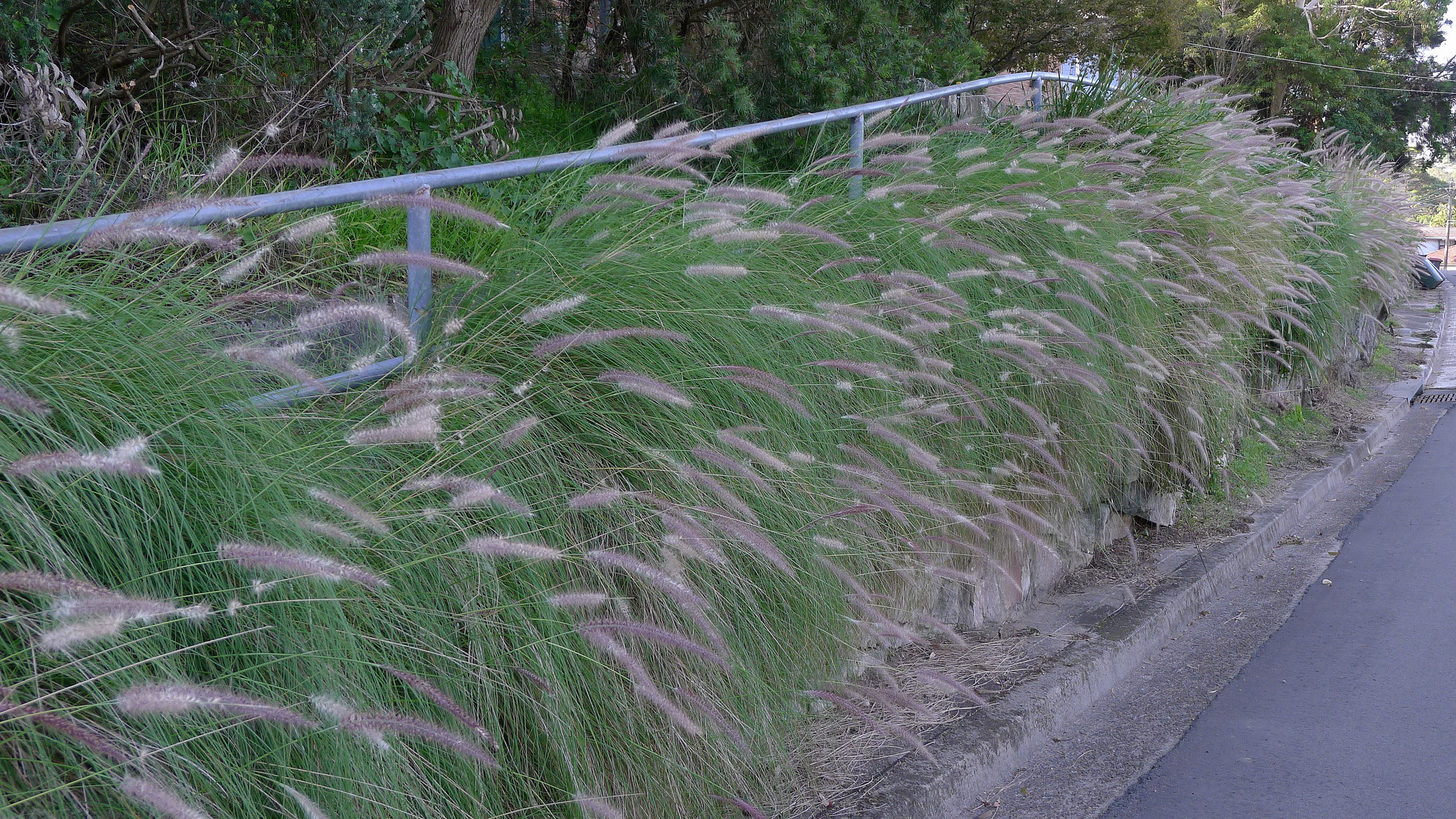Green fountain grass (Pennisetum setaceum)