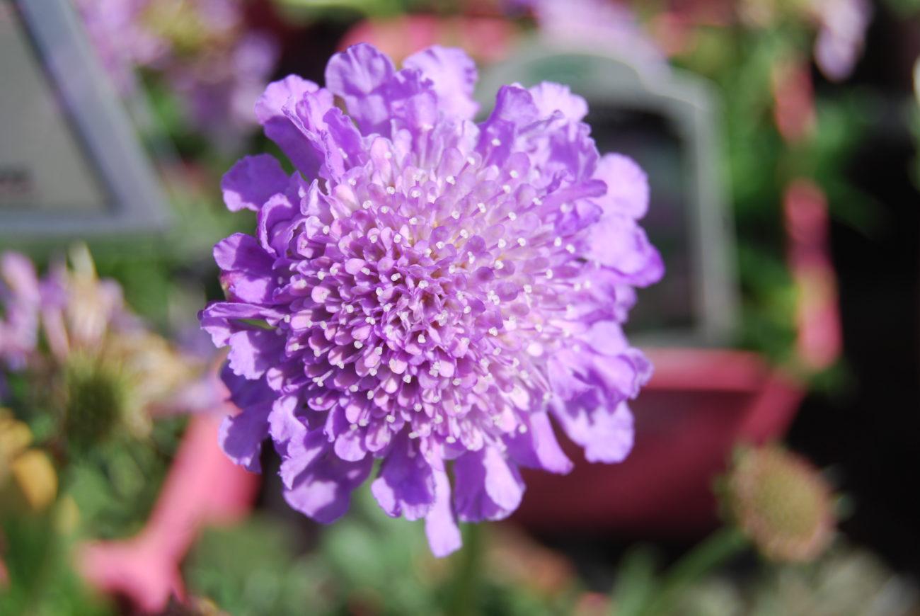 Scabiosa Atropurpurea Plantright