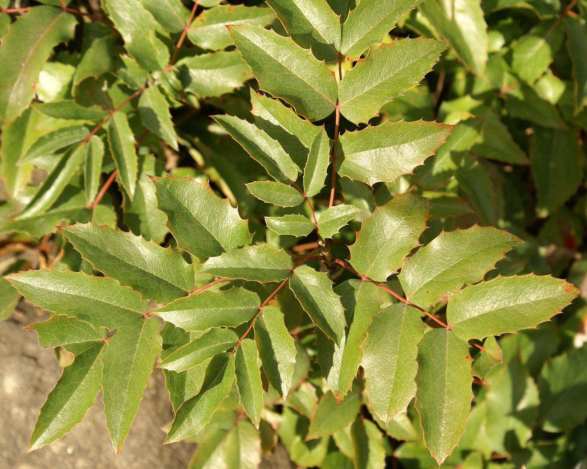 Berberis aquifolium leaves