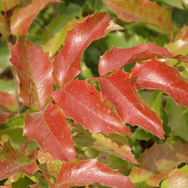 Berberis aquifolium red leaves