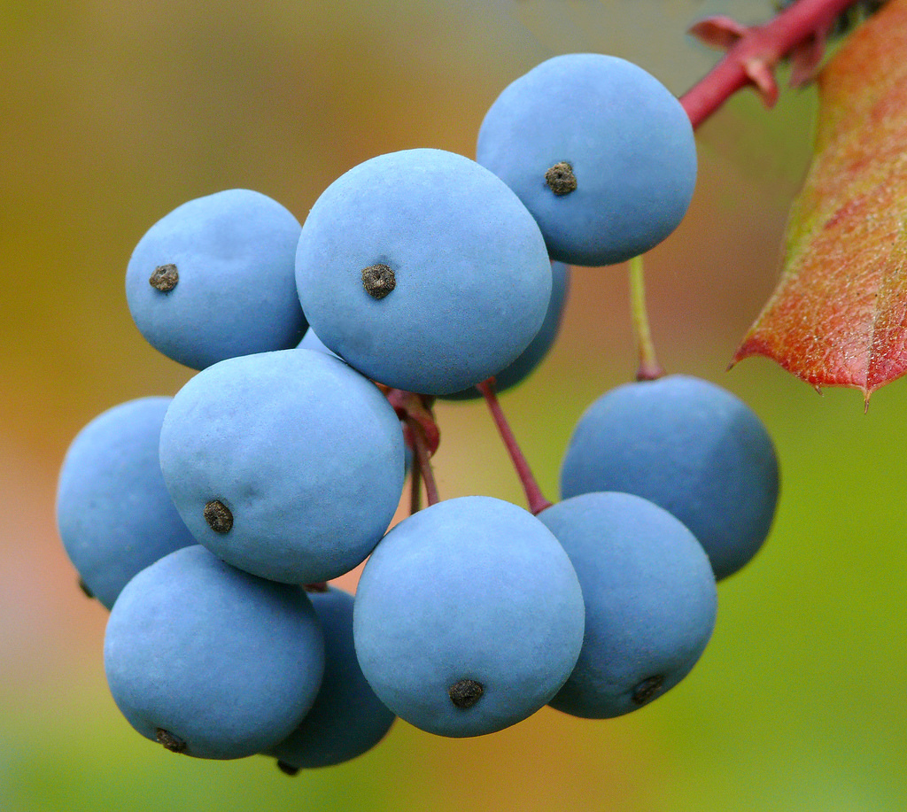 Berberis aquifolium berries close up