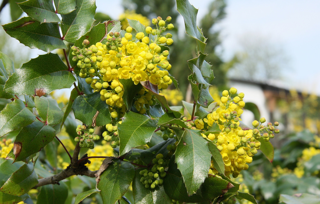 Berberis aquifolium leaves and yellow flowers