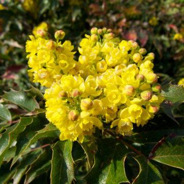 Berberis aquifolium yellow flowers