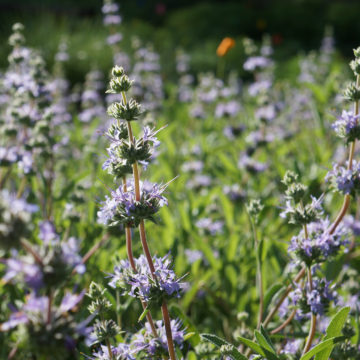 Salvia 'Bee's Bliss'. UC Davis Arboretum and Public Garden