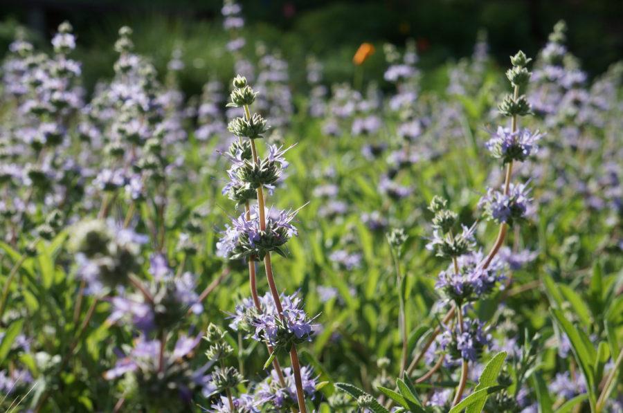 Salvia 'Bee's Bliss'. UC Davis Arboretum and Public Garden