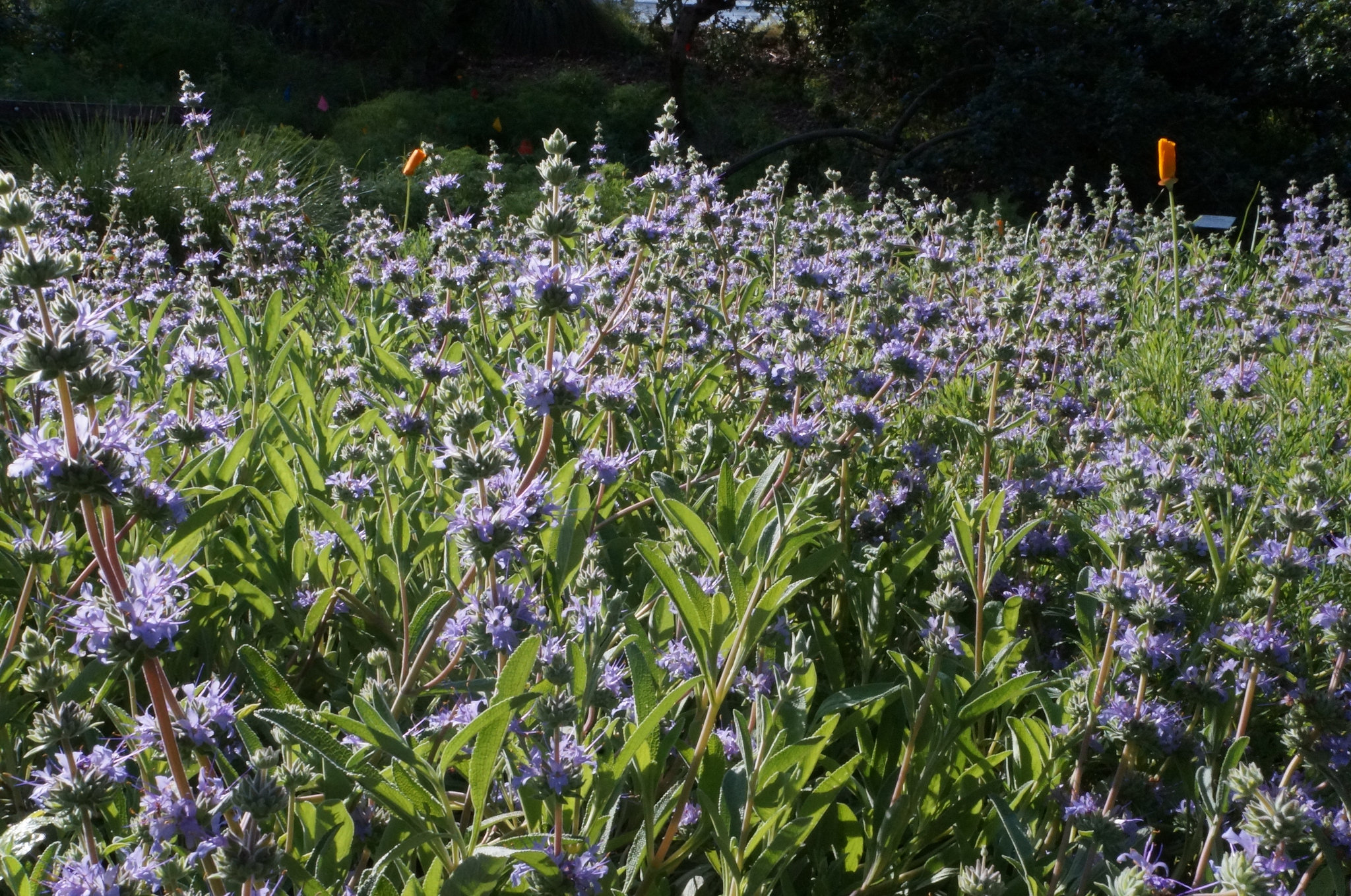 Salvia 'Bee's Bliss' in the Marry Wattis Brown Garden of California Native Plants