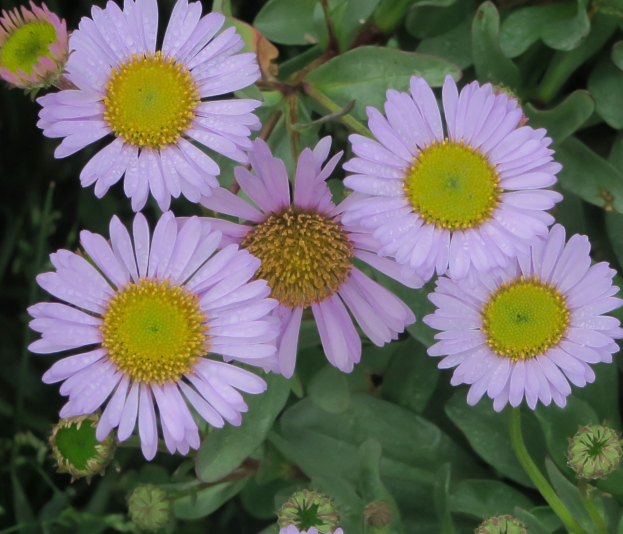 Erigeron 'WR'. Purple daisy-like flowers