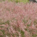 Natal grass flowers